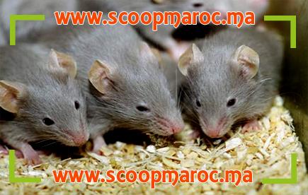 برنامج علمي: استخدام فئران أفريقية للكشف عن الألغام ورصد السل لدى البشر بهذه الطريقة