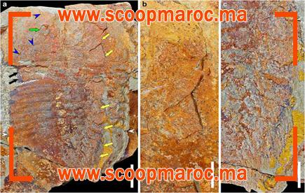 عاجل: مستحاثة من المغرب عمرها 500 مليون سنة تخلق الحدث العالمي والعلمي